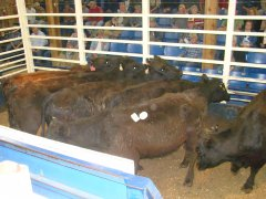 cattle-sale-017.jpg